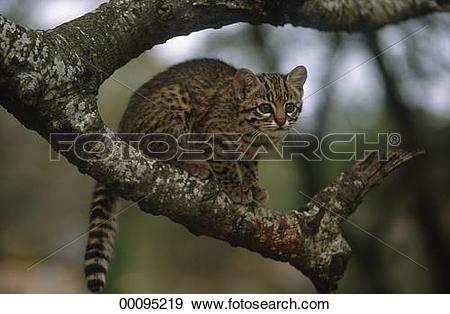 Geoffroy's Cat clipart #11, Download drawings