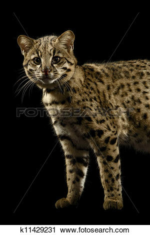 Geoffroy's Cat clipart #4, Download drawings