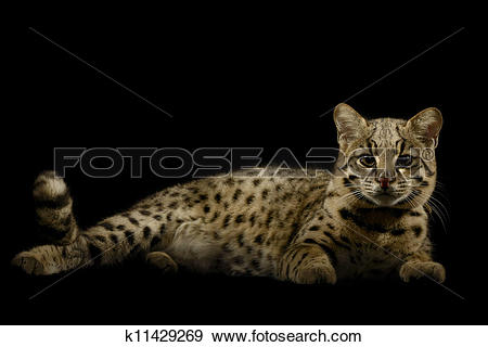 Geoffroy's Cat clipart #3, Download drawings