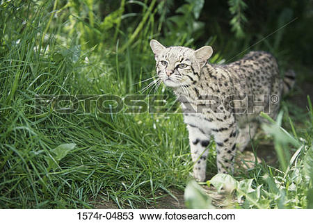 Geoffroy's Cat clipart #7, Download drawings
