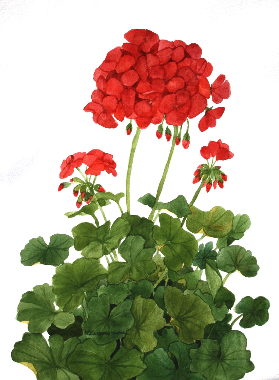 Geranium clipart #20, Download drawings