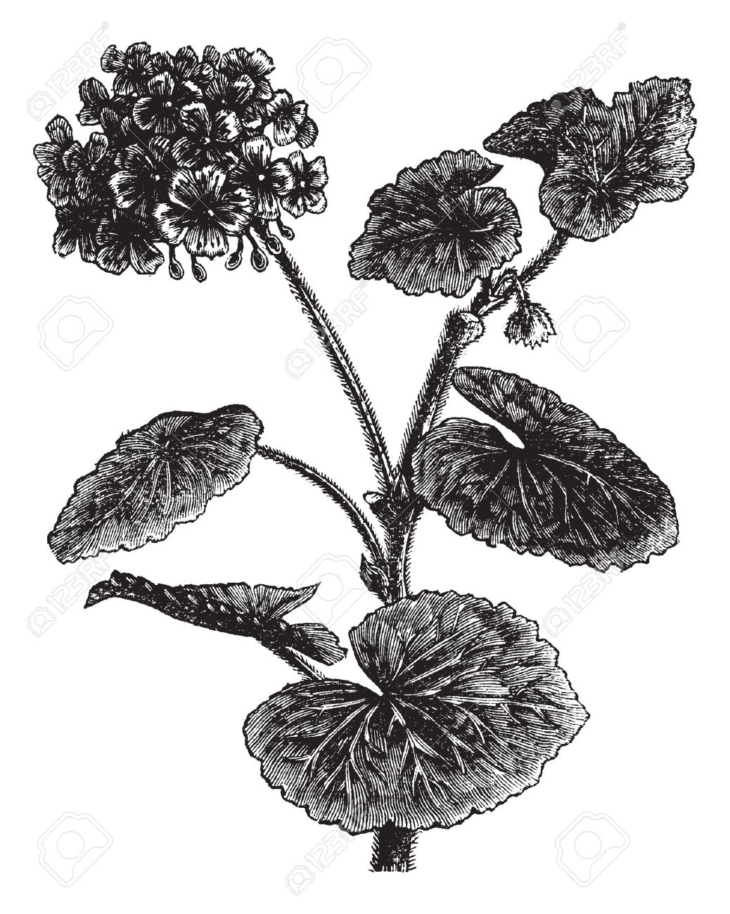 Geranium clipart #4, Download drawings