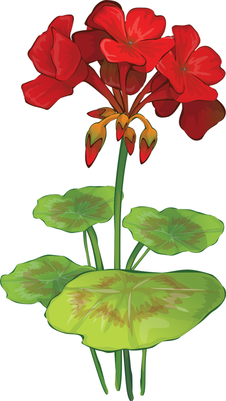 Geranium clipart #9, Download drawings