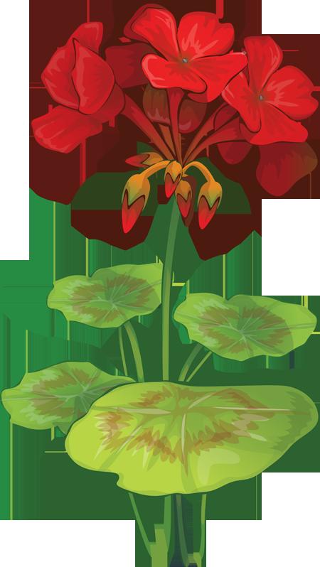 Geranium clipart #12, Download drawings