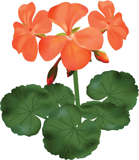 Geranium clipart #7, Download drawings