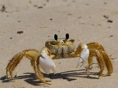 Ghost Crab svg #18, Download drawings