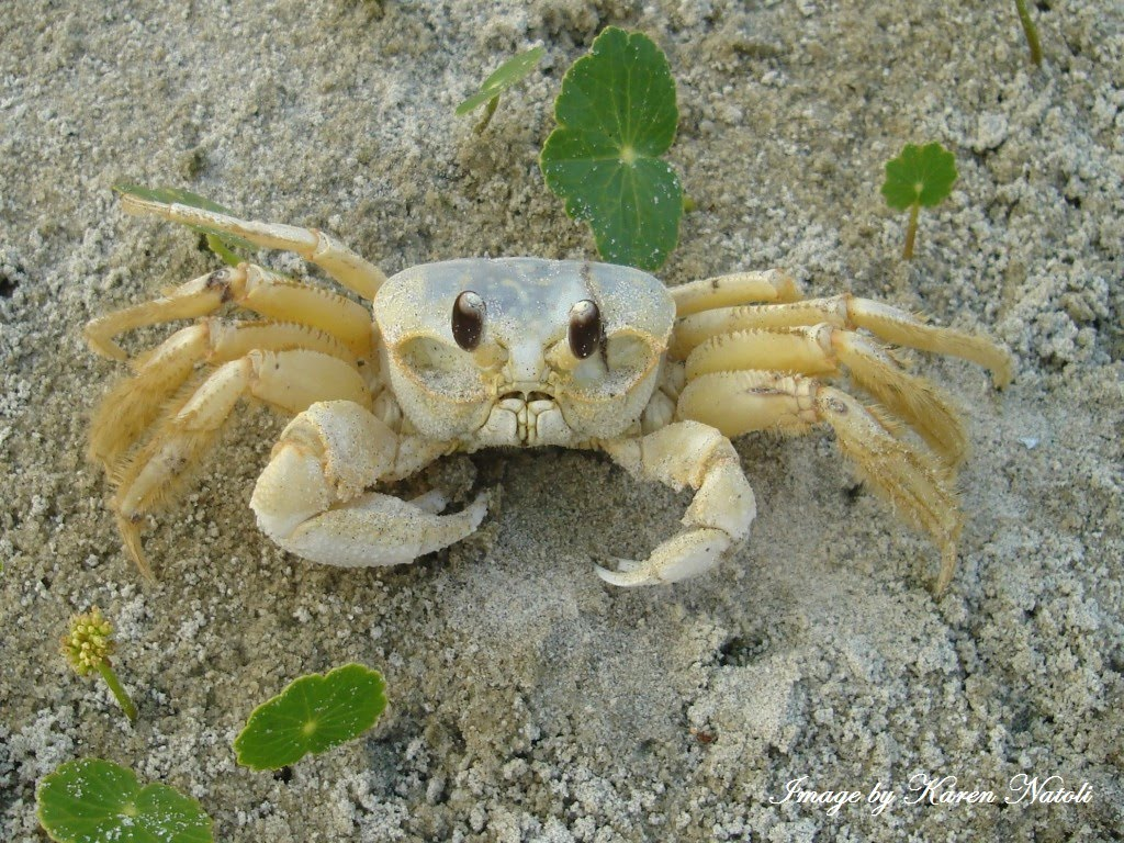Ghost Crab svg #19, Download drawings