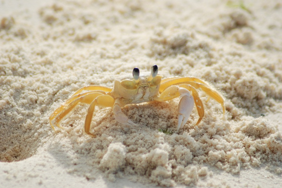 Ghost Crab svg #6, Download drawings