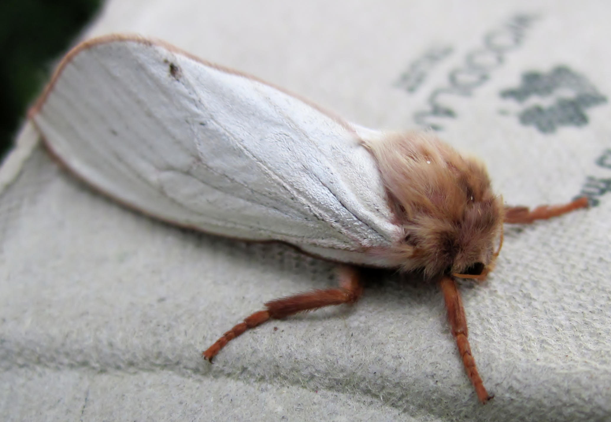 Ghost Moth clipart #1, Download drawings