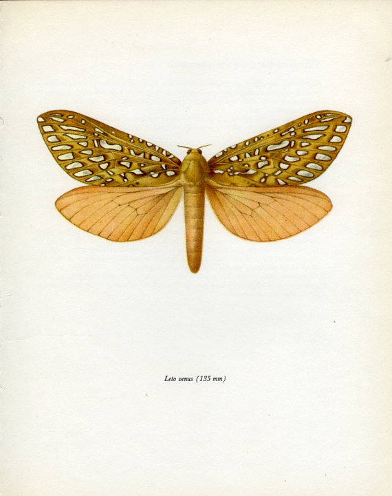 Ghost Moth clipart #3, Download drawings
