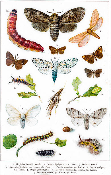 Swift Moth clipart #18, Download drawings