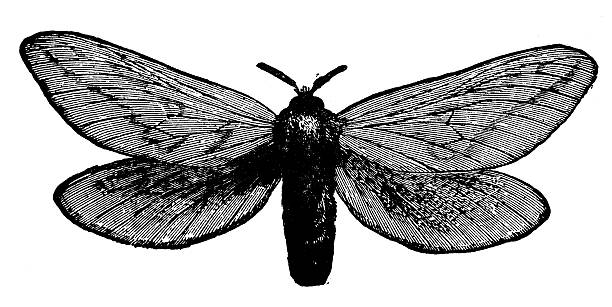 Swift Moth clipart #20, Download drawings