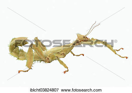Giant Spiny Stick Insect clipart #15, Download drawings
