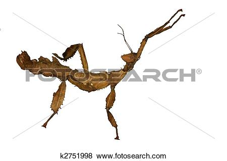 Giant Spiny Stick Insect clipart #8, Download drawings