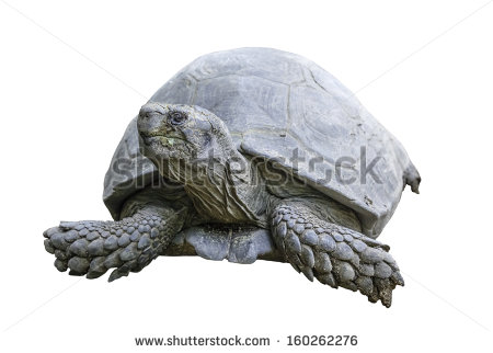 Giant Tortoise clipart #13, Download drawings