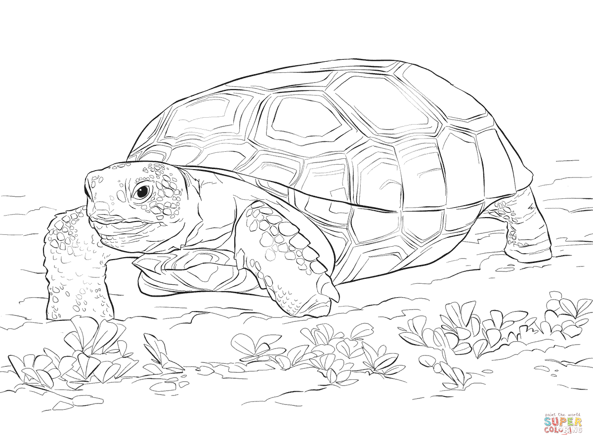 Sulcata Tortoise coloring #15, Download drawings