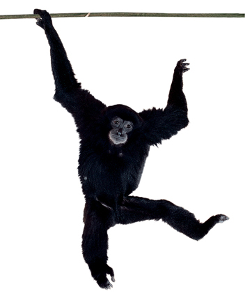 Gibbon clipart #1, Download drawings