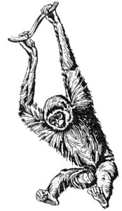 Gibbon clipart #9, Download drawings