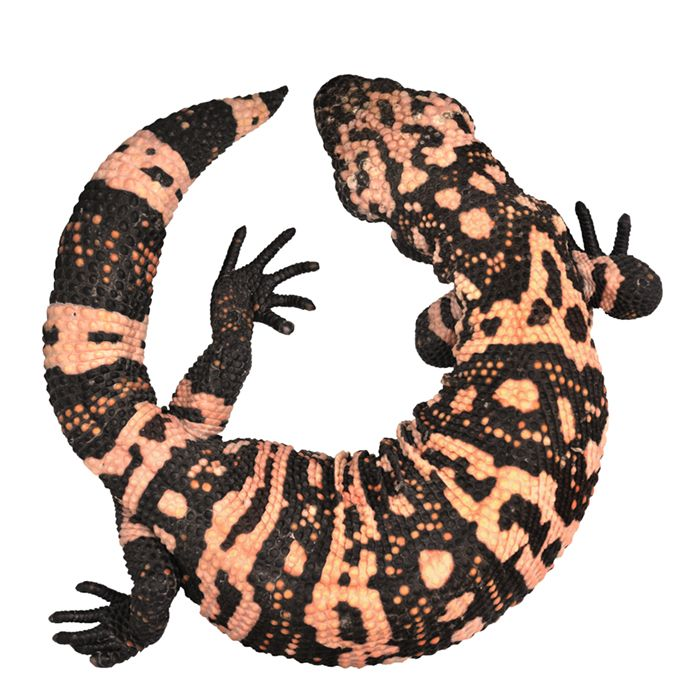 Gila Monster clipart #4, Download drawings