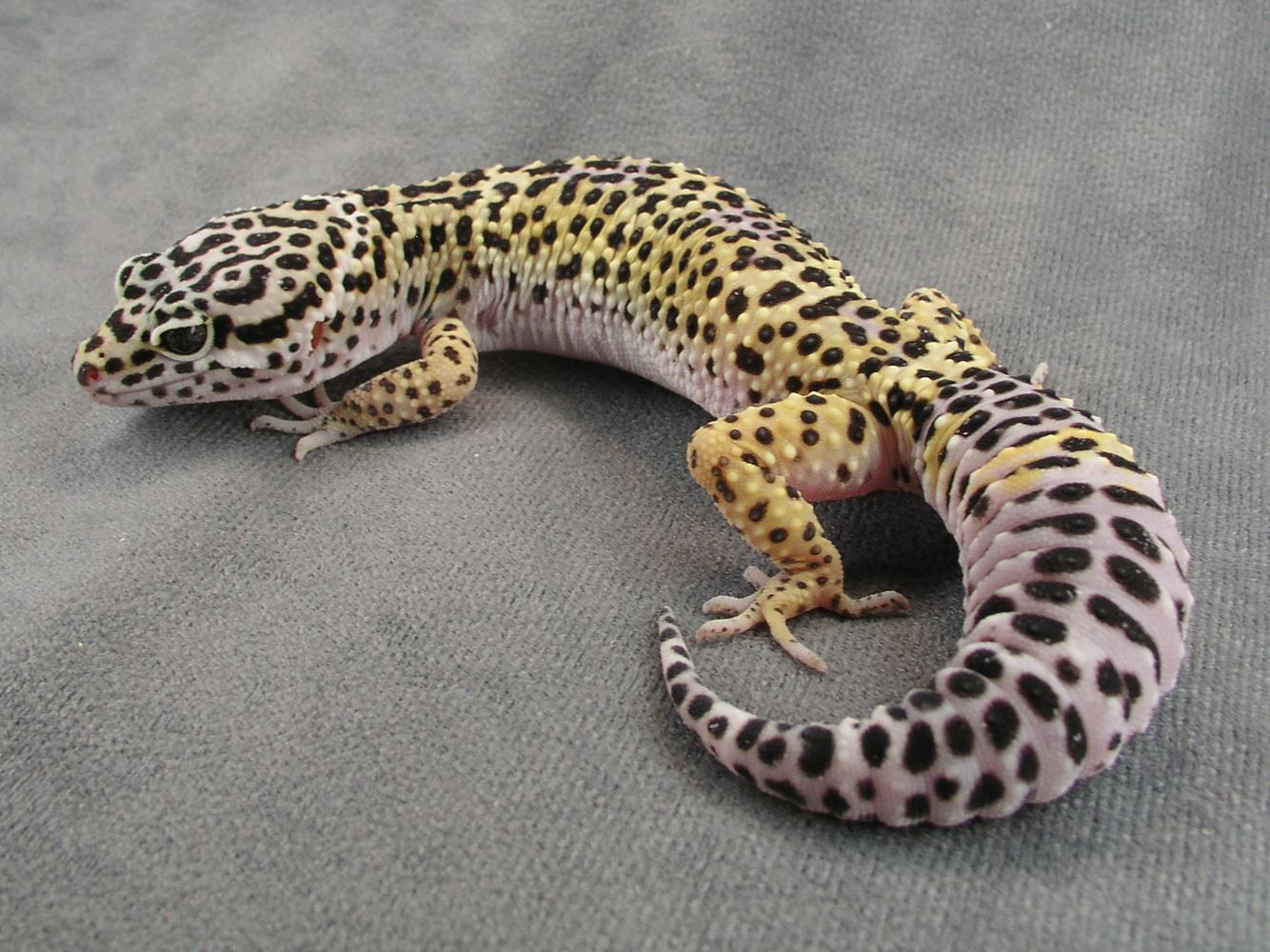 Tokay Gecko svg #16, Download drawings