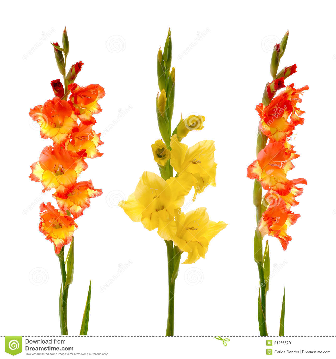 Gladiolus clipart #20, Download drawings