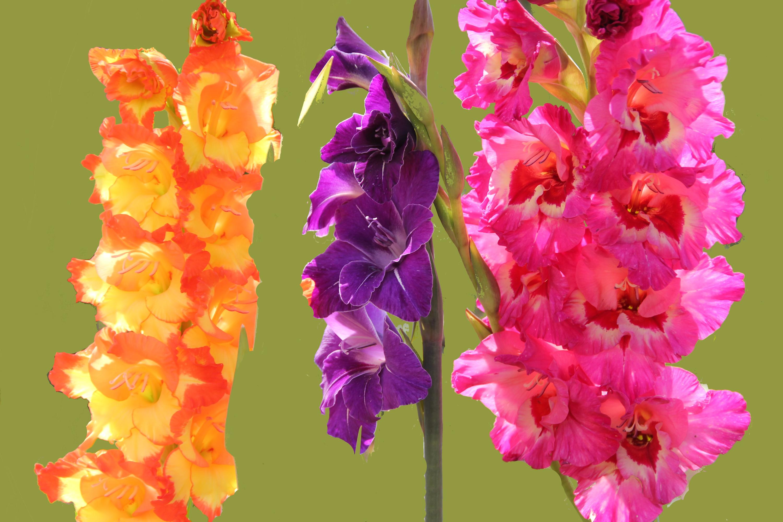 Gladiolus svg #14, Download drawings