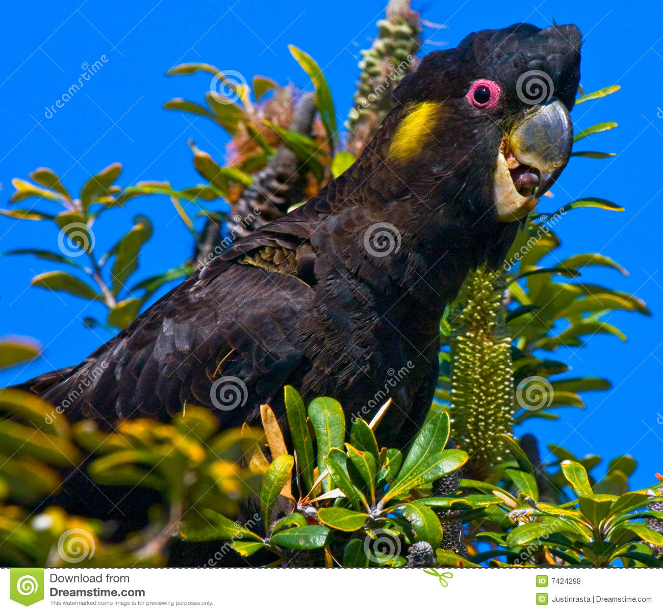 Glossy Black Cockatoo clipart #7, Download drawings