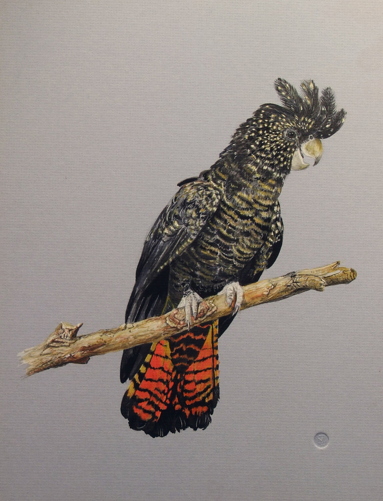 Glossy Black Cockatoo clipart #4, Download drawings