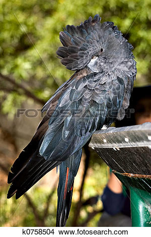 Glossy Black Cockatoo clipart #20, Download drawings