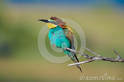Golden Bee-eater clipart #14, Download drawings