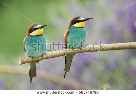 Golden Bee-eater clipart #9, Download drawings