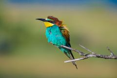 Golden Bee-eater clipart #12, Download drawings