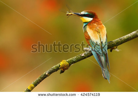 Golden Bee-eater clipart #8, Download drawings