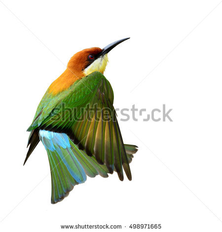 Golden Bee-eater clipart #6, Download drawings