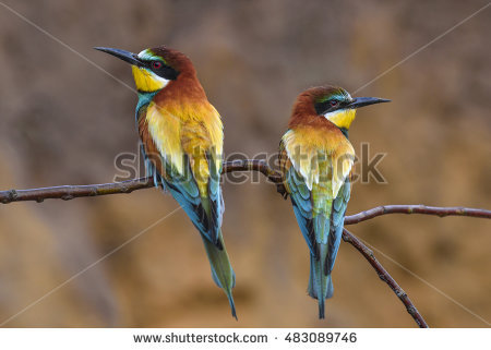 Golden Bee-eater clipart #18, Download drawings