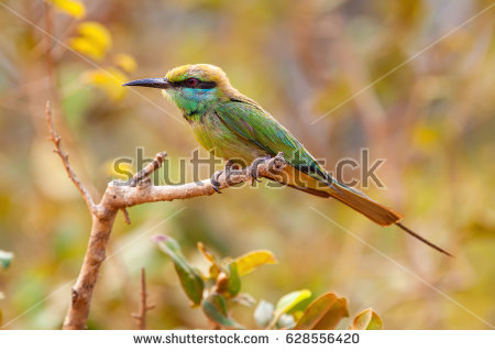 Golden Bee-eater clipart #4, Download drawings