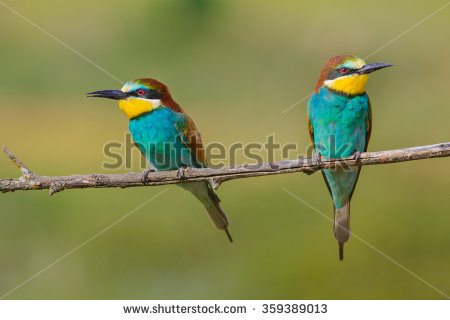 Golden Bee-eater clipart #19, Download drawings