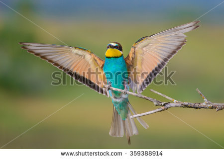 Golden Bee-eater clipart #15, Download drawings