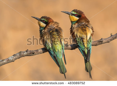 Golden Bee-eater clipart #3, Download drawings