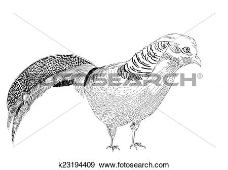 Golden Pheasant clipart #5, Download drawings