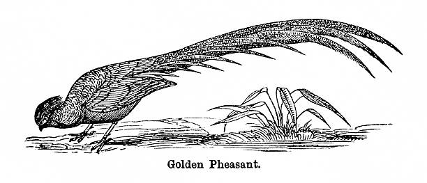 Golden Pheasant clipart #10, Download drawings