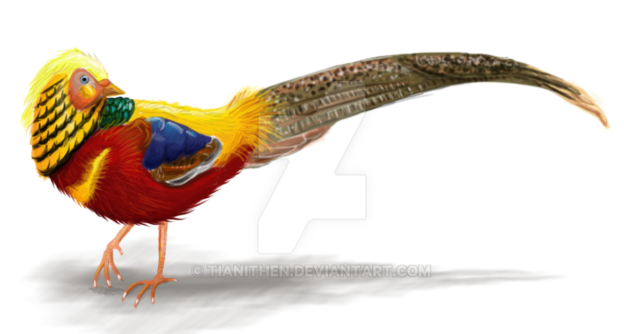 Golden Pheasant clipart #2, Download drawings