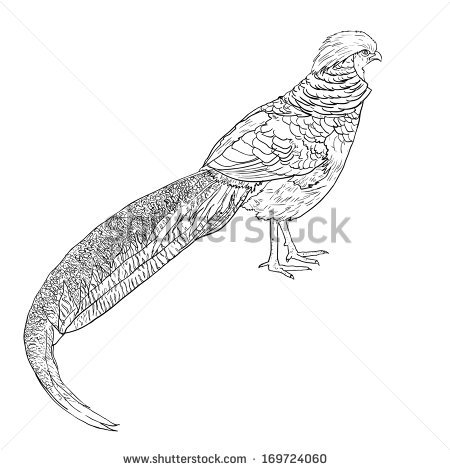 Golden Pheasant clipart #15, Download drawings