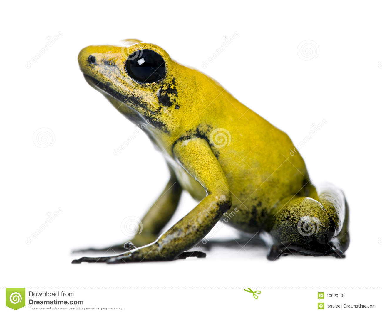 Golden Poison Frog clipart #9, Download drawings