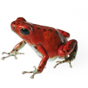 Golden Poison Frog clipart #5, Download drawings