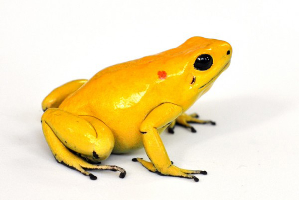 Golden Poison Frog svg #20, Download drawings