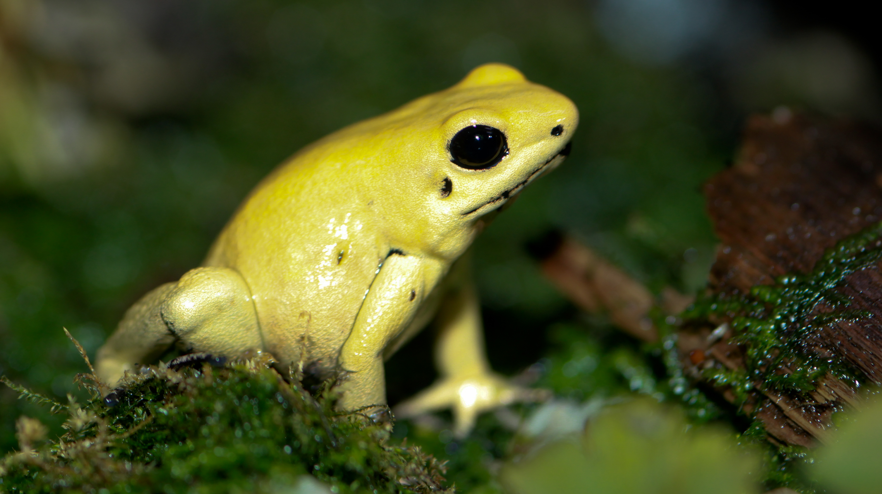 Golden Poison Frog svg #17, Download drawings