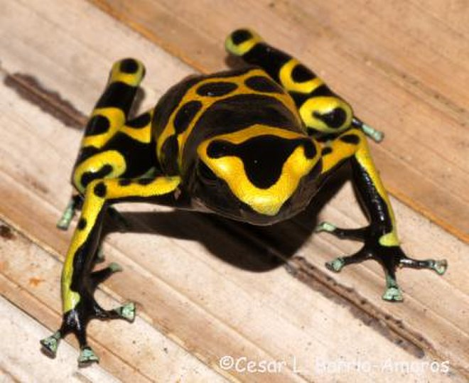 Golden Poison Frog svg #1, Download drawings