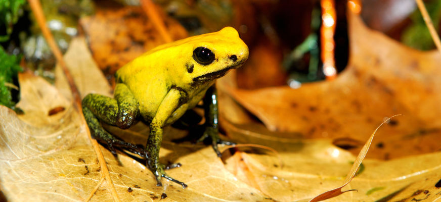 Golden Poison Frog svg #2, Download drawings