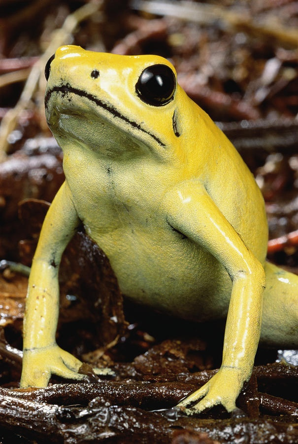 Golden Poison Frog svg #10, Download drawings